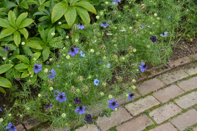 Hidcote_Love-in-a-mist